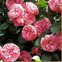 Как укрыть на зиму розы на участке